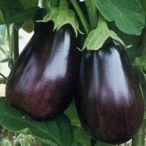 + 20 Adet Topan Patlıcan Tohumu + Sürpriz Hediye Tohum
